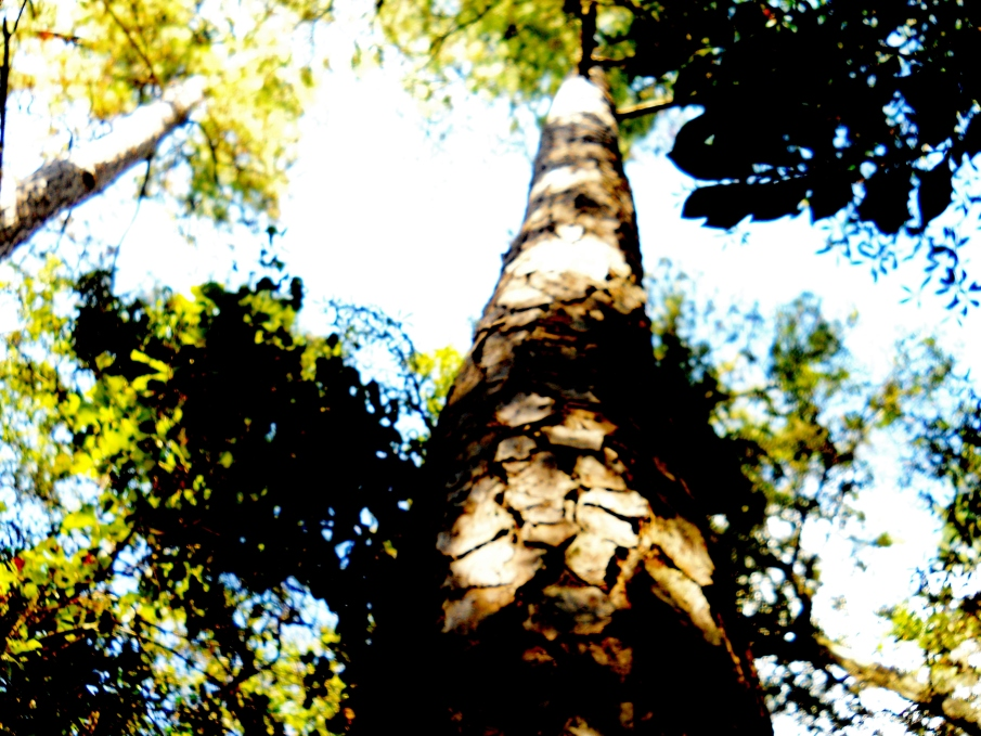 Towering Pine In The Too Bright October Glare (2)