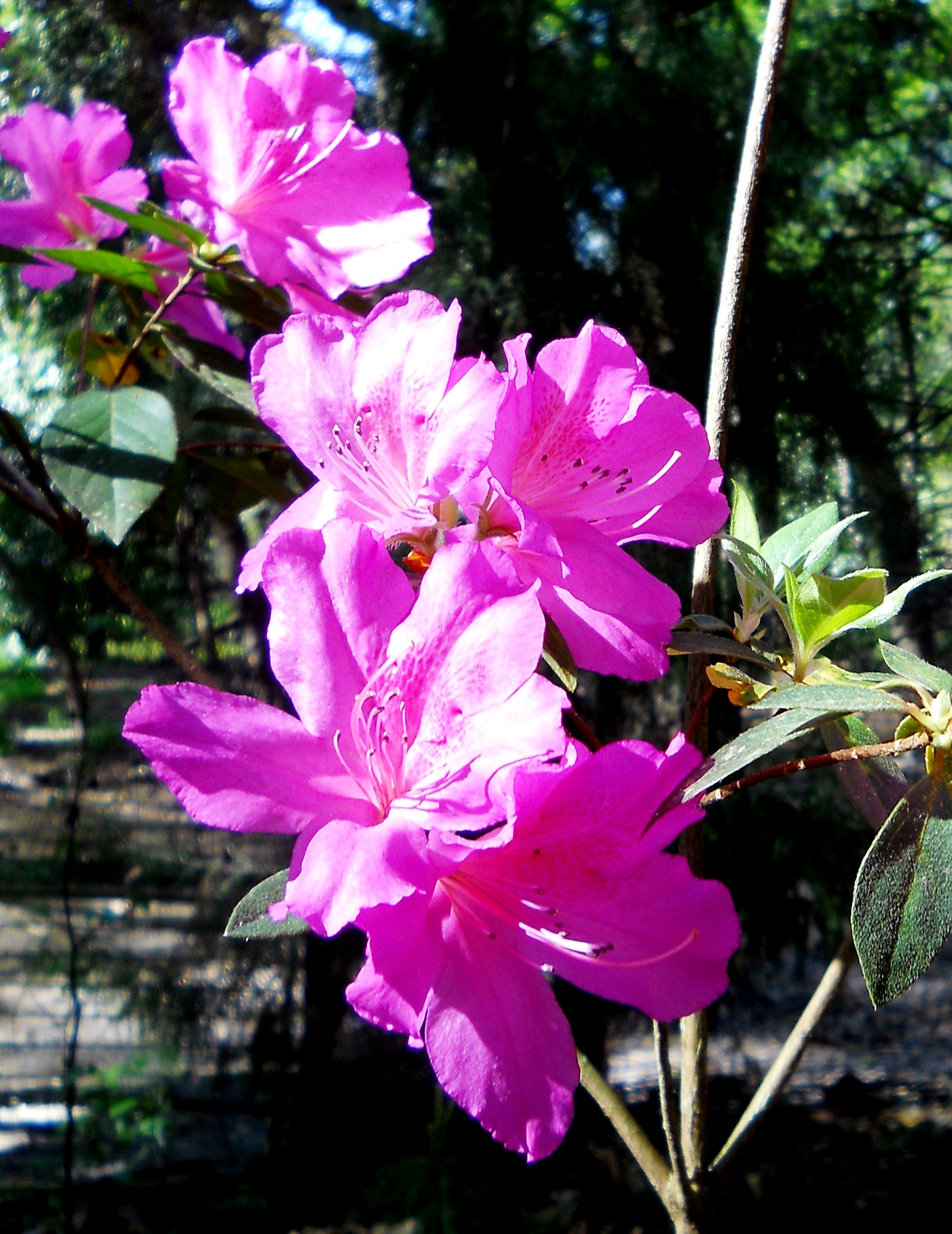 https://bearspawprint.files.wordpress.com/2014/03/vernal-sunshine-on-azaleas-march-2014-2014-03-25-013-2.jpg