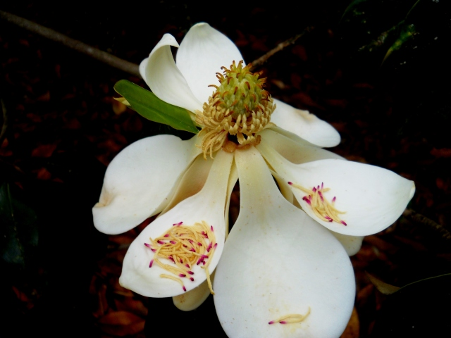Magnolia Blossom ⓒ Bearspawprint