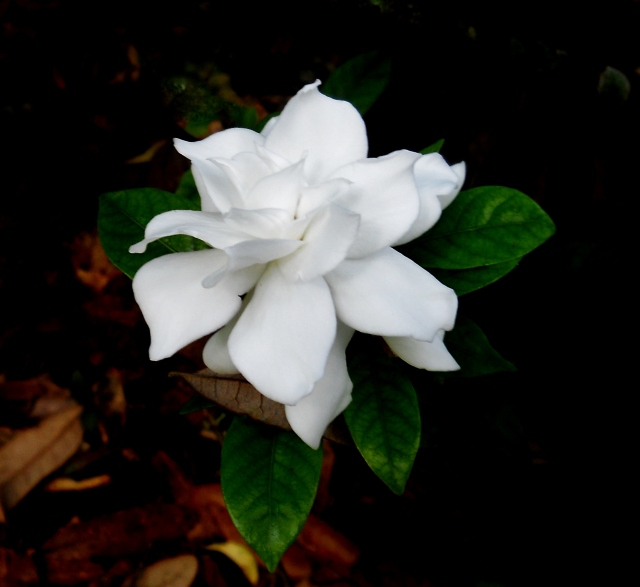 Gardenia Blooming In Shade  ⓒ Bearspawprint 2014
