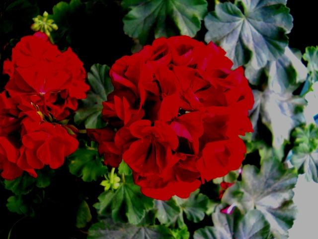 RED   GERANIUM                        ⓒ Bearspawprint 2014