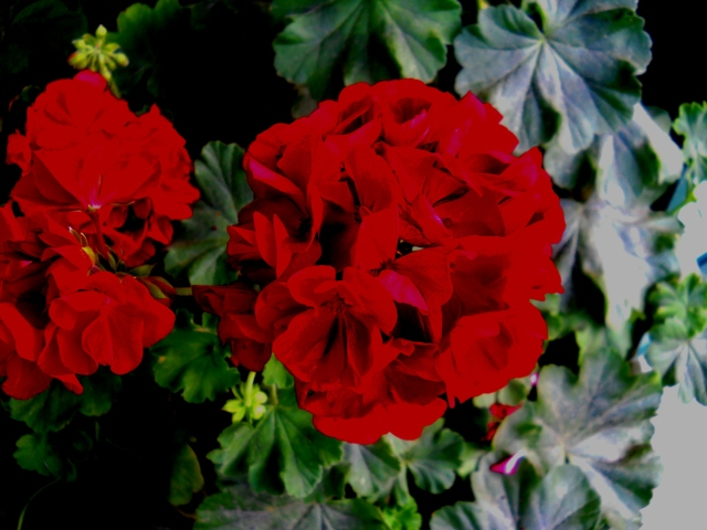 RED   GERANIUM                        ⓒ Bearspawprint 2014