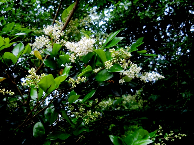 Ligustrum   ⓒ Bearspawprint 2014