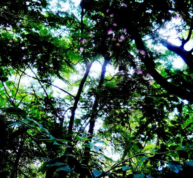 Mimosa Blooming Under Live Oaks  ⓒ Bearspawprint 2014
