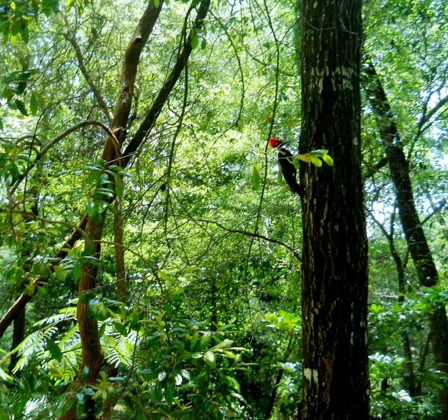 Piliated Woodpecker, there actually are two, one is behind the tree, being coy ⓒ Bearspawprint 2014 2014