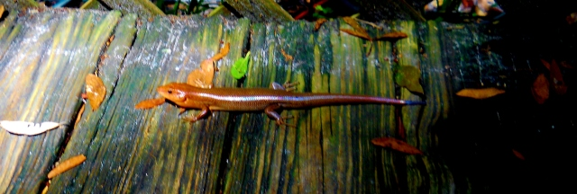 The shade is about to catch up with this skink.  I wonder what happened to his tail ?ⓒ Bearspawprint 2014