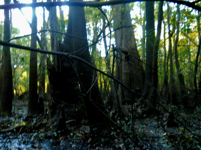 The base of that old Cypress is  8 to 10 feet diameter ⓒBearspawprint2014