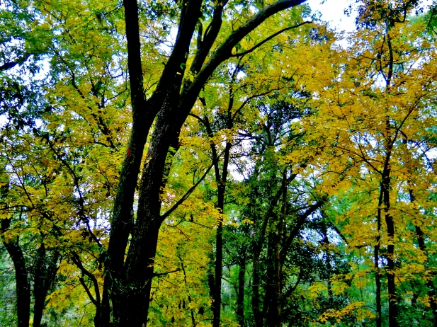 Cheerful Hickory Foliage  ⓒBearspawprint2014
