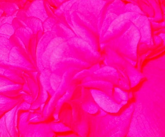 December Camellia ⓒBearspawprint2014
