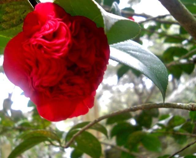RED CAMELLIA  ⓒBearspawprint2014
