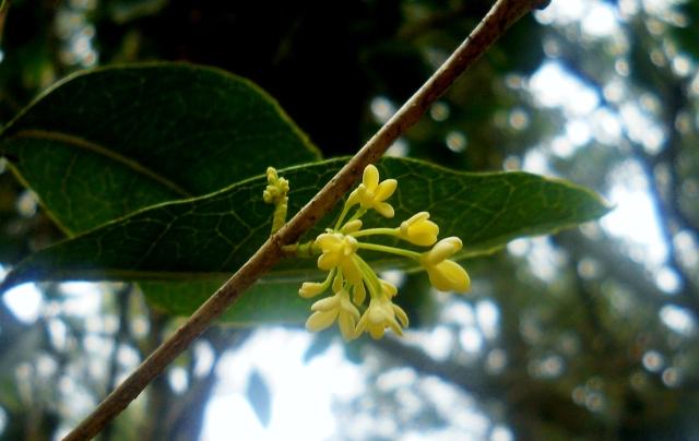 Humble December Tea Olive ⓒBearspawprint2014