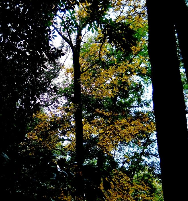 Hickory Trees brighten a gloomy November day ⓒBearspawprint2014