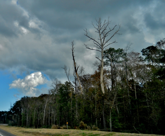 Lightening struck trees ⓒBearspawprint2014