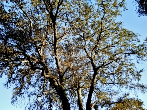Oak Tree in Front Yard     ⓒBackSeatPhotography2014