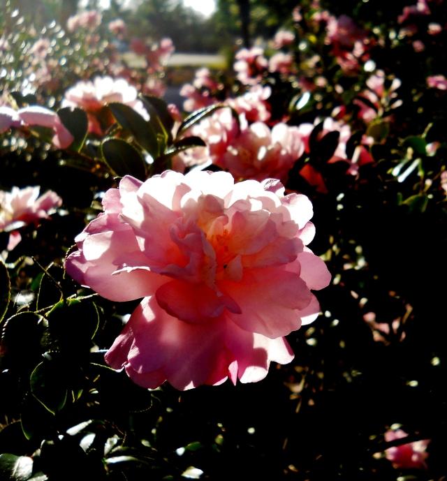 Pink Camellias December 2, North East Florida  ⓒBearspawprint2014