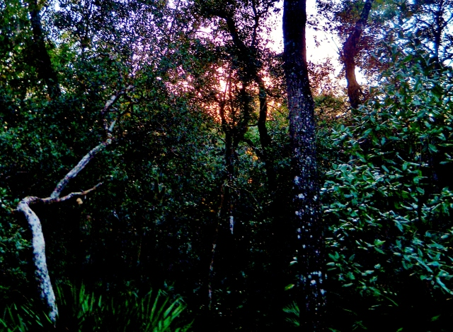 Sunset through thin spot in the understory  December,  North East Florida  ⓒBearspawprint2014