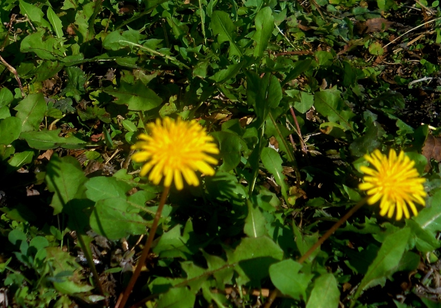 The little flowers that Maddie likes to eat ...ⓒBearspawprint2014