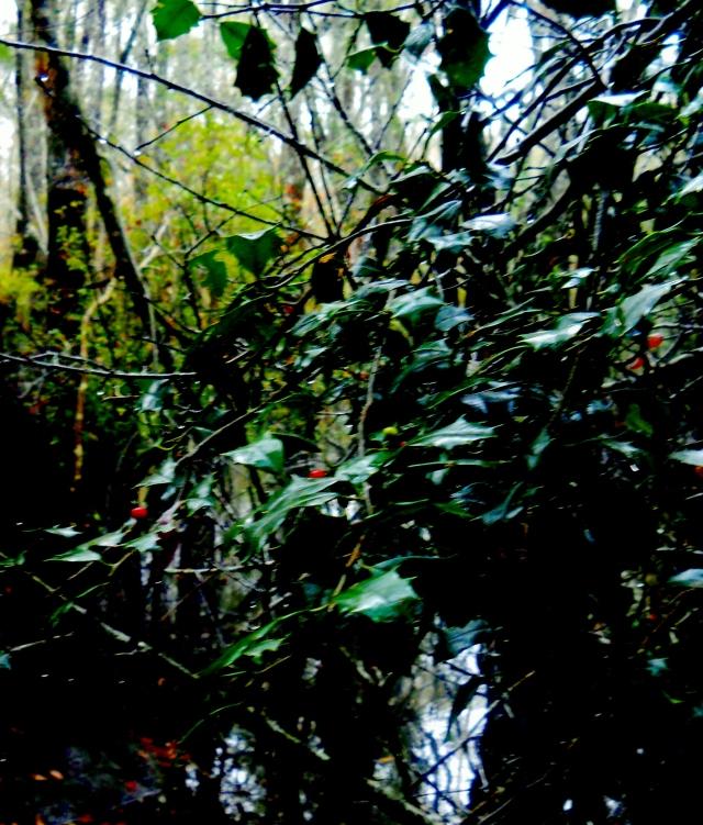 Wild Florida Holly ⓒBearspawprint2014
