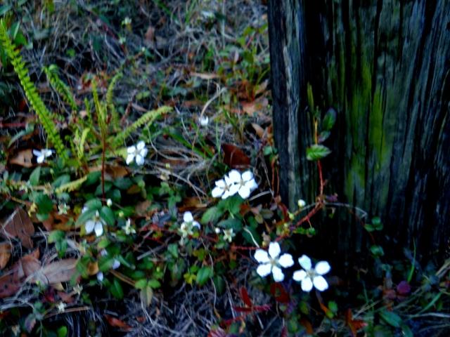 Blackberry flowers, new ferns ⓒBearspawprint2015  3-16-2015