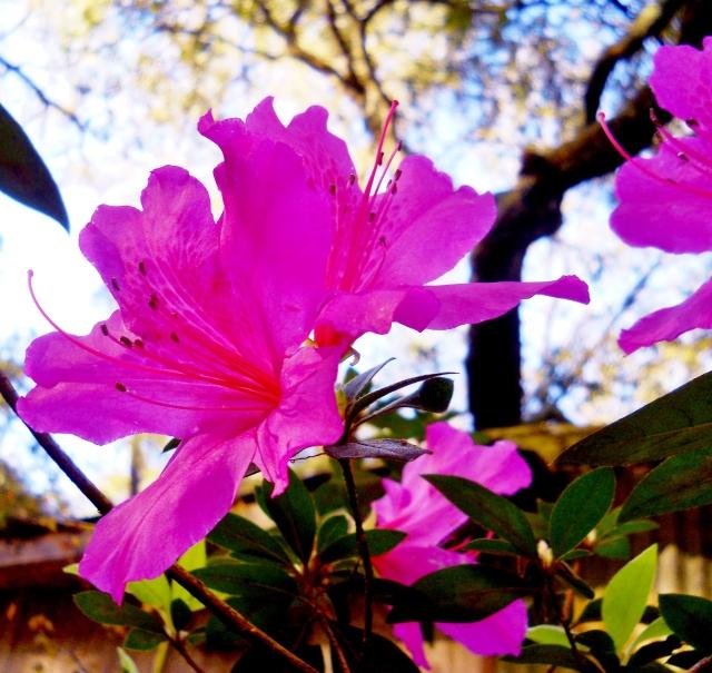 first azaleas ⓒBearspawprint2015 03.08.2015