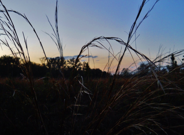 Grass at dusk in a field ⓒBearspawprint2015  03.03.2015  077 (2)