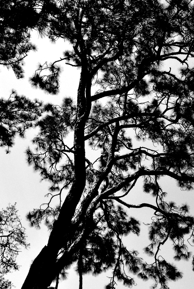 PINE in black and white ⓒBearspawprint2015 3-16-2015