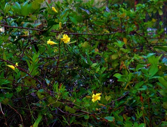 Yellow Confederate Jasmine  ⓒBearspawprint2015 3-16-2015