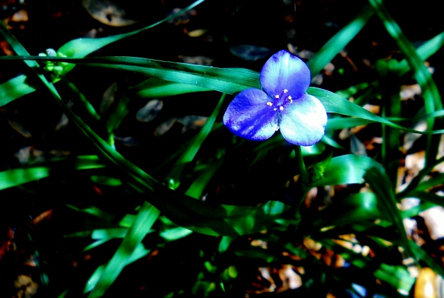 Wild Iris  ⓒBearspawprint2015  04.09.2015