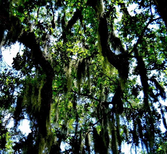 Spanish Moss in Oak Tree Amelia IslandⓒBearspawprint2015